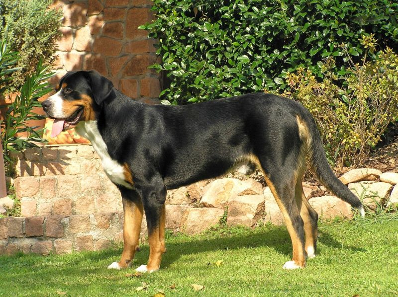 tricolored Greater Swiss Mountain Dog