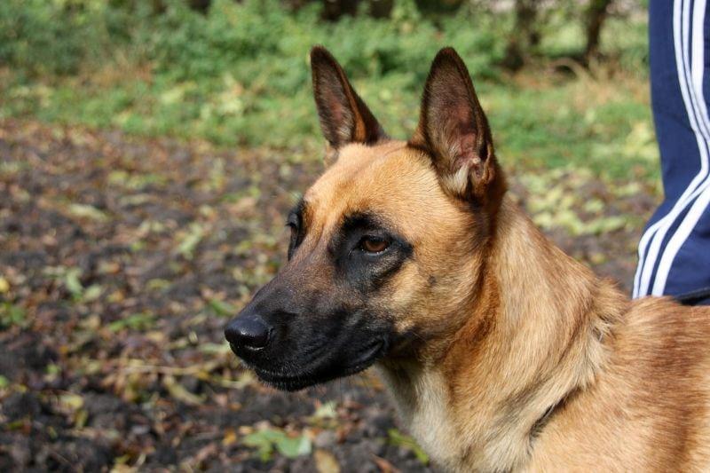 Belgian malinois are smart dogs