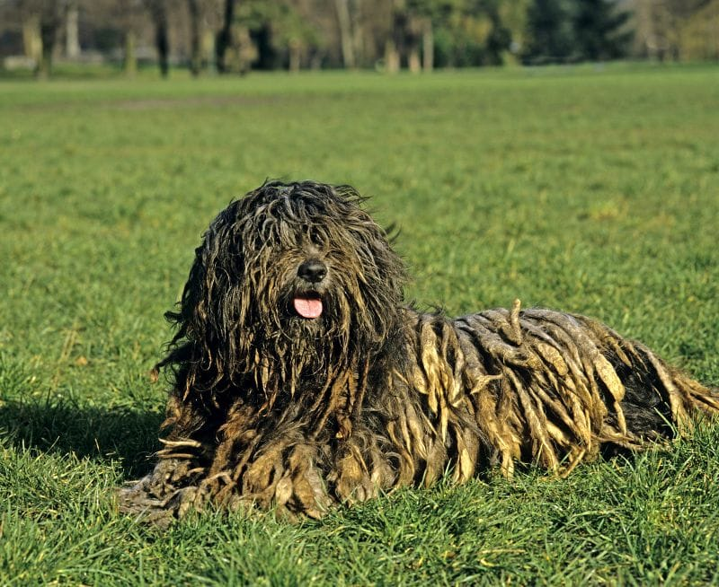 Bergamasco sheepdogs are a herding breed