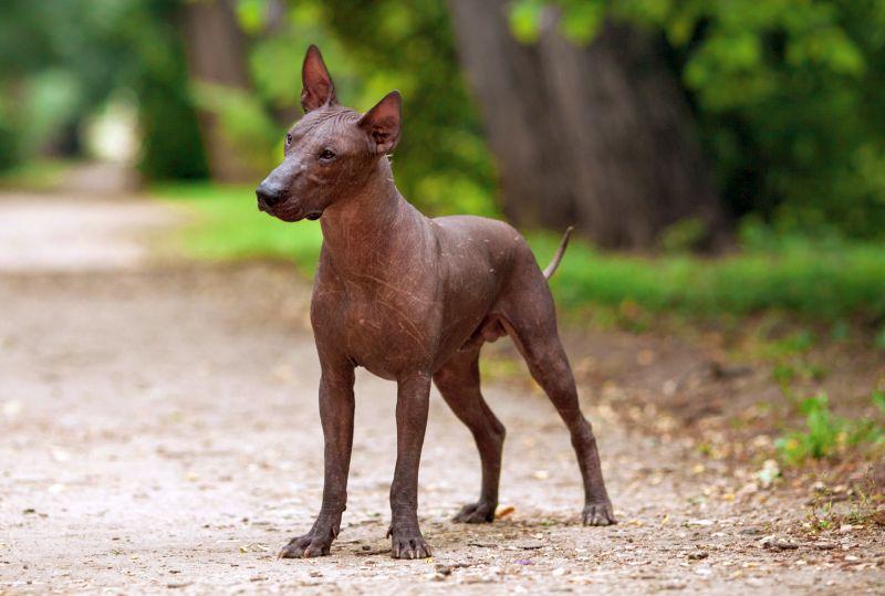 Xoloitzcuintli dogs don't shed a lot