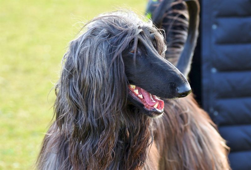 afghan hounds don't shed much