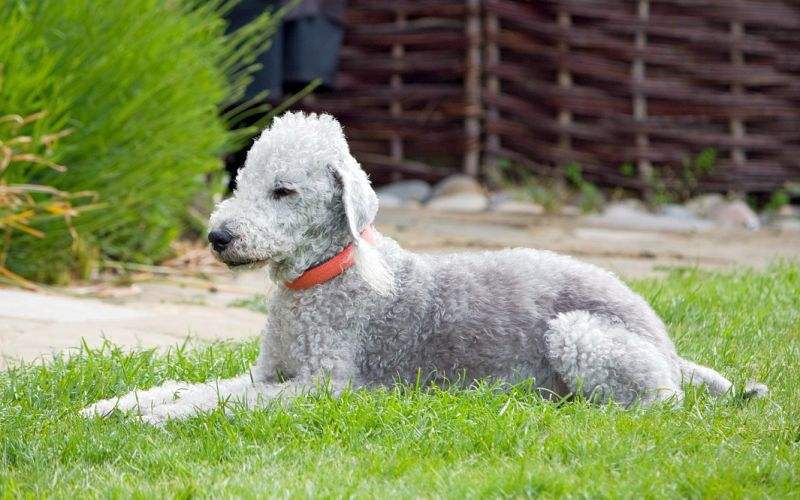 Bedlington terriers don't shed very much