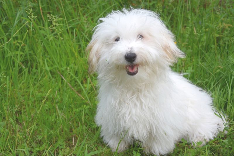 The coton de Tulear doesn't shed much