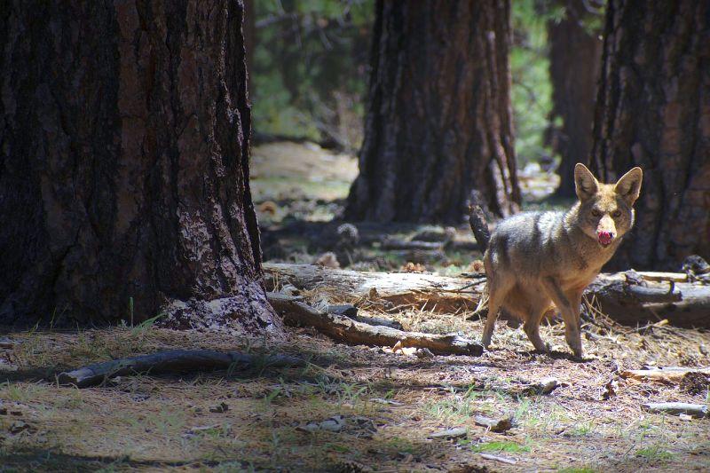 les coyotes sont dangereux pour les chiens