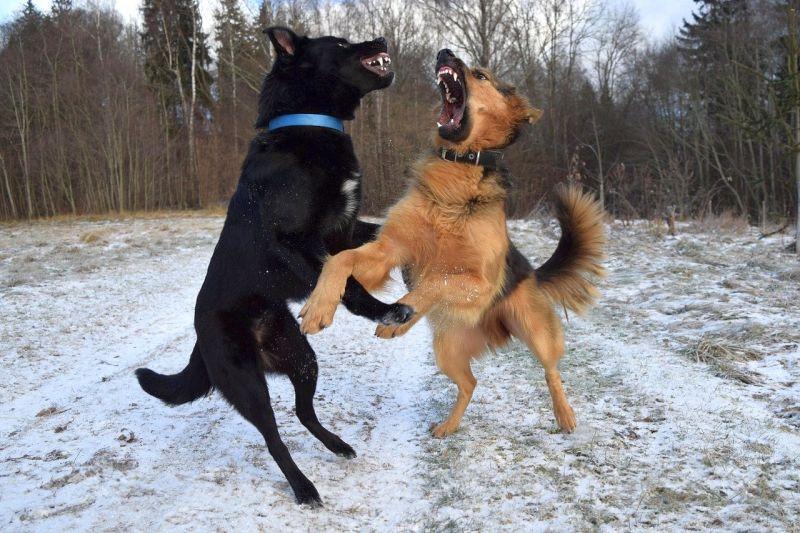 Les clôtures protègent les chiens des autres chiens