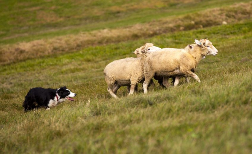herding dogs can make good pets