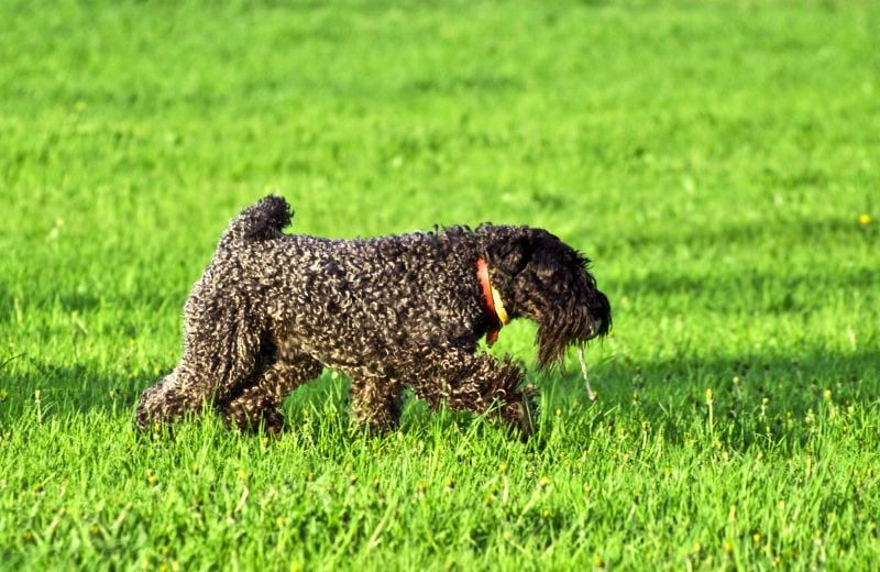 Kerry blue terriers shed very little
