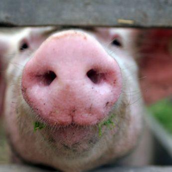Pig snout dog chews