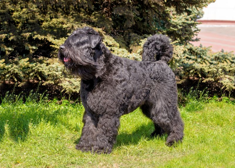 Bouvier des Flandres dogs are fluffy