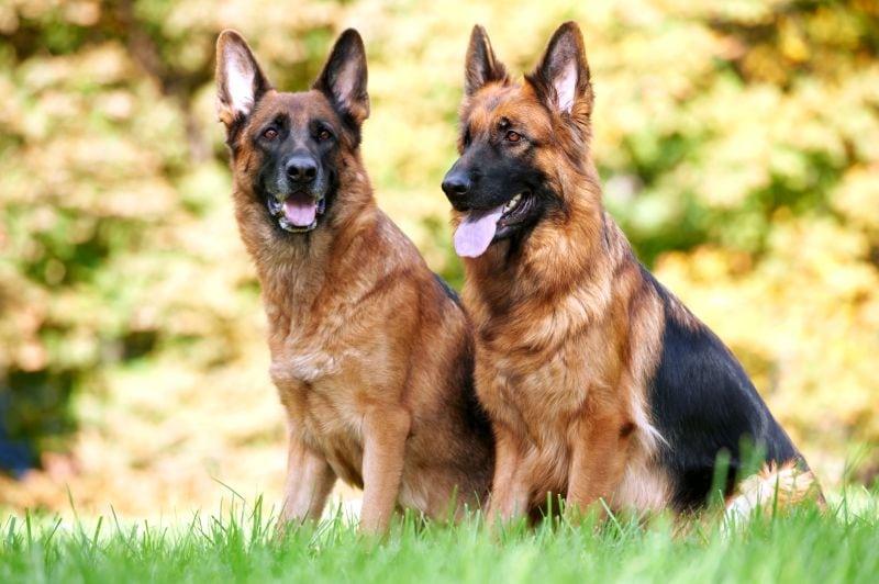 German shepherds are herding dogs