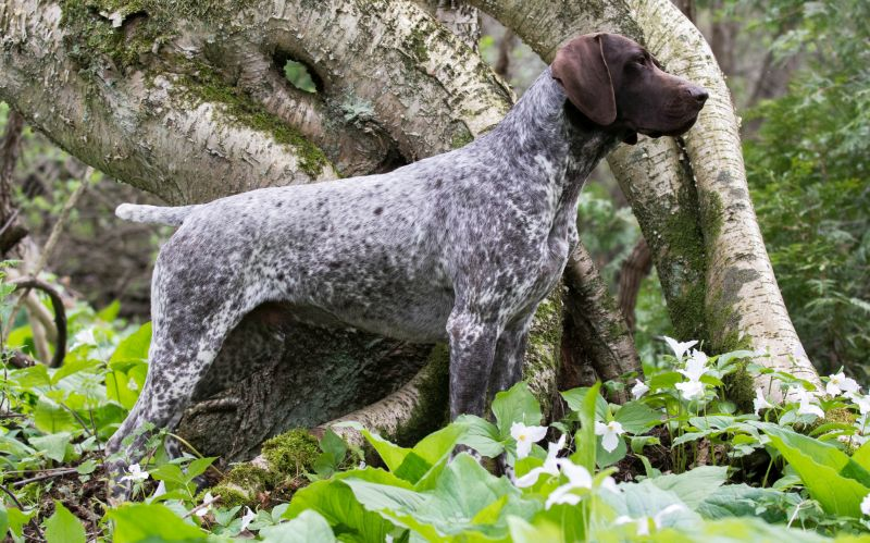 German shorthaired pointers have webbed feet
