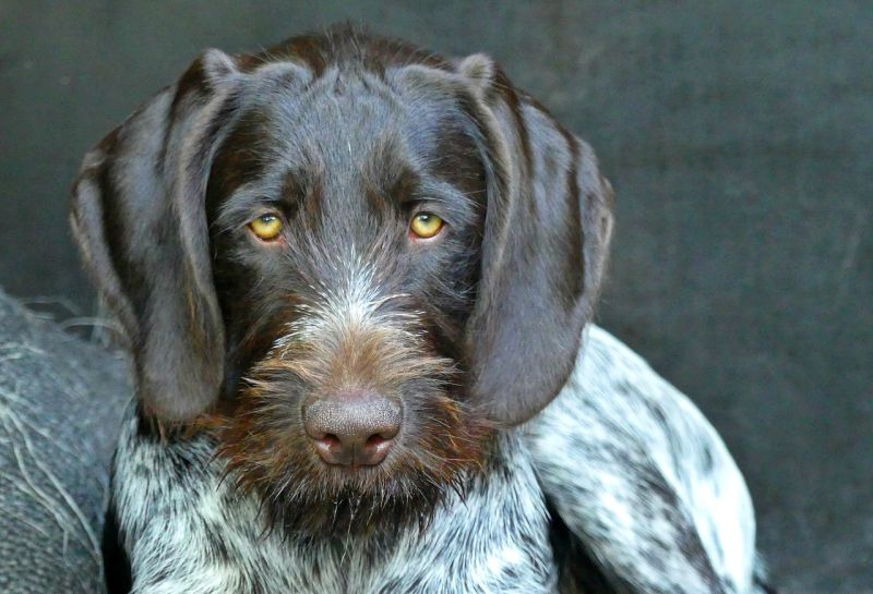 German wirehaired pointers have webbed feet