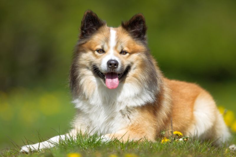Icelandic sheepdogs are very friendly