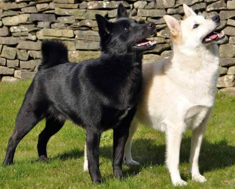 Norwegian Buhund is a herding breed