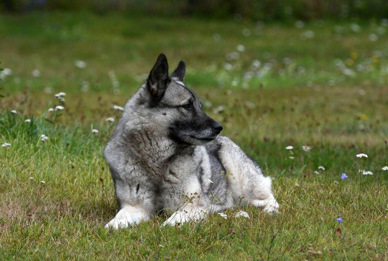 Norwegian elkhounds like the outdoors