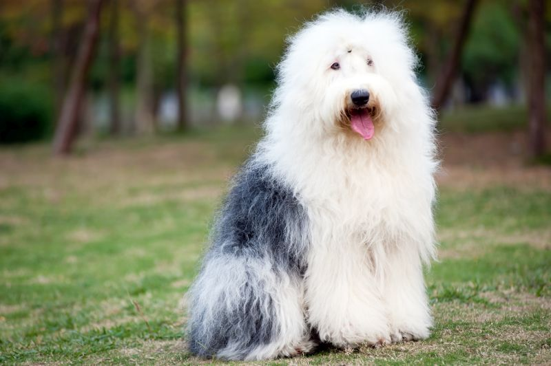 Old English Sheepdogs have really long hair