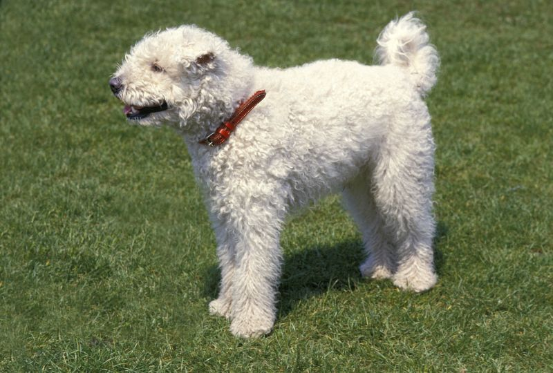The pumi is a rare herding breed