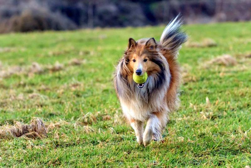 Shetland sheepdogs are good family pets
