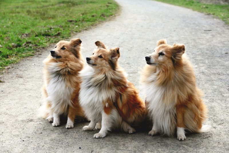 Shelties are fluffy