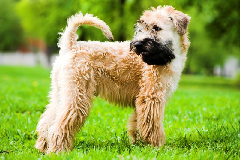Soft Coated Wheaten Terriers are fluffy