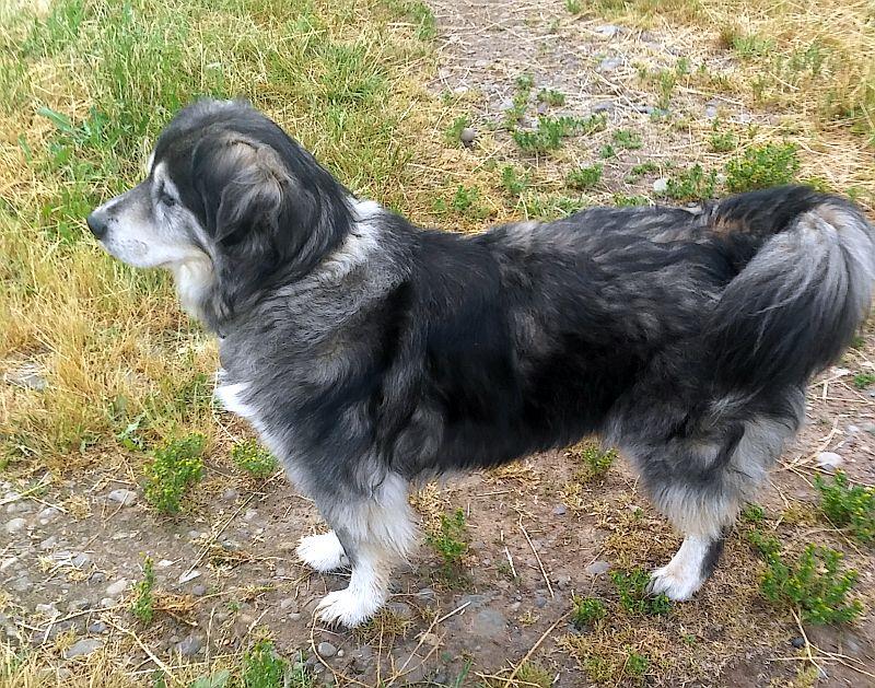 Aussie shepherd -- malamute
