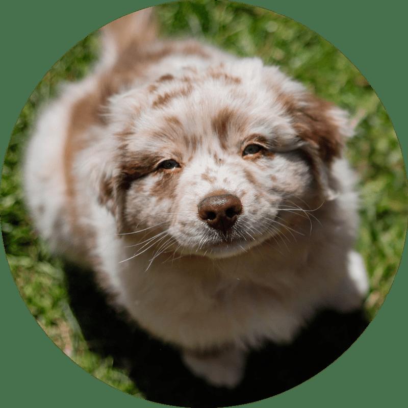 adoring-puppy