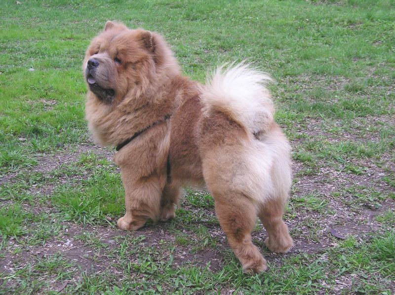 Chows are extremely fluffy