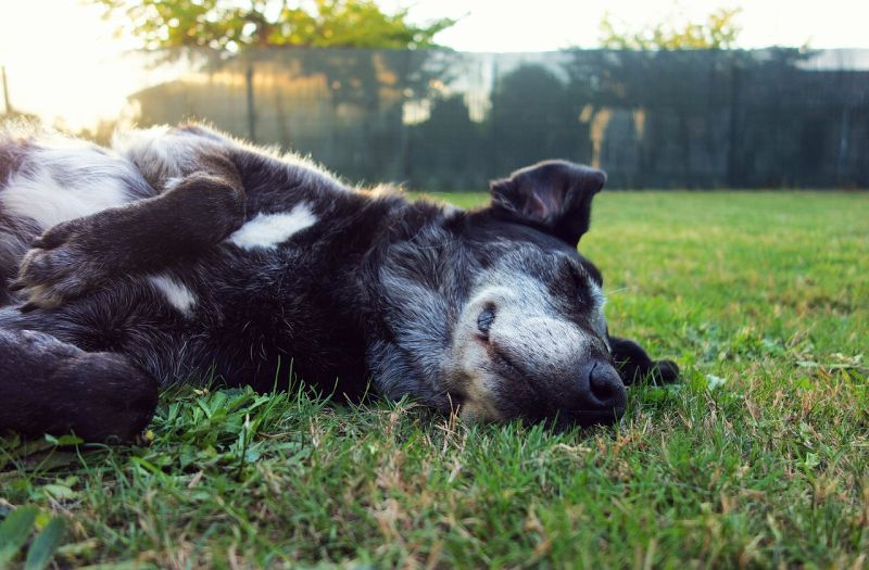 Dogs sleep in a variety of positions
