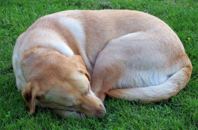Many dogs like to sleep curled up