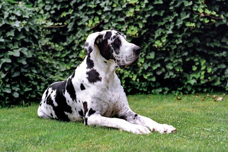 Great Danes are Part of a Daniff