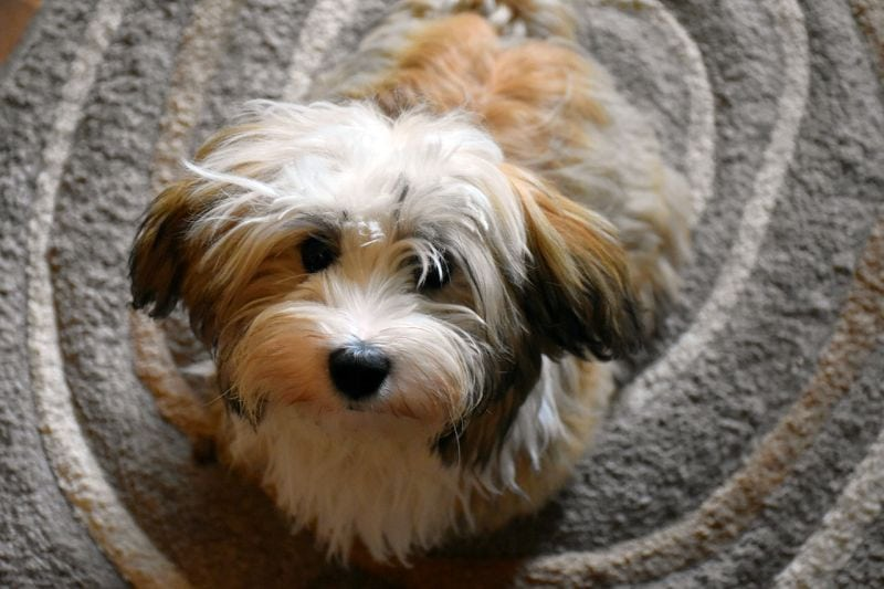The Havanese is especially fluffy