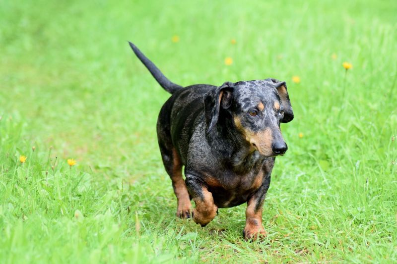 Merle dachshund