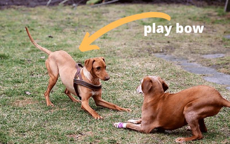 dog play bow