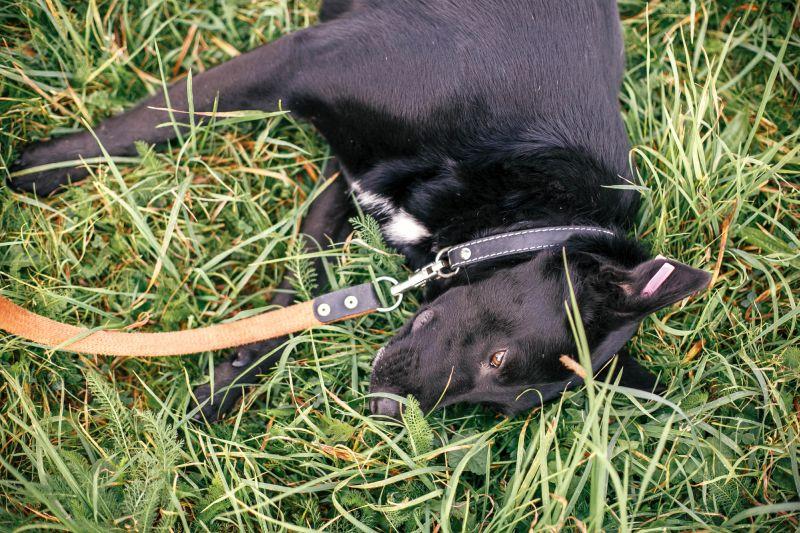 dog urine kills grass