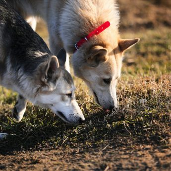 nosework games for dogs