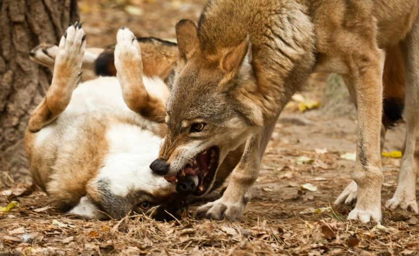 wolves alpha rolling