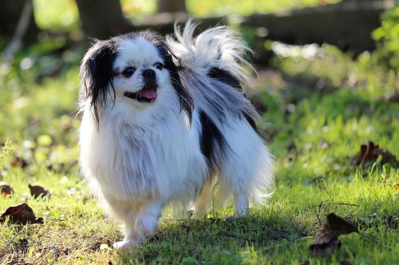Names for Japanese chin