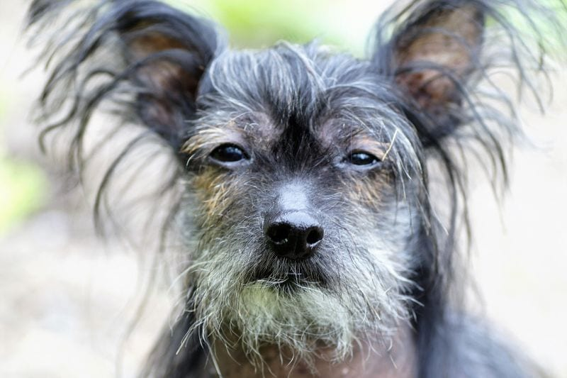 silly dog names for Chinese breeds