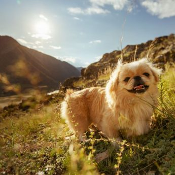 Names for Chinese dog breeds