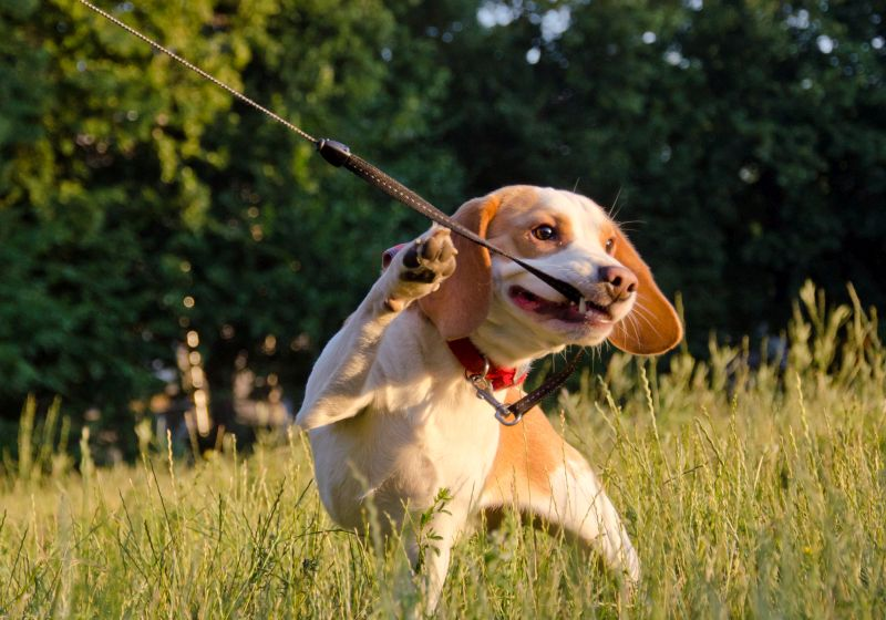 many dogs chew on their leash