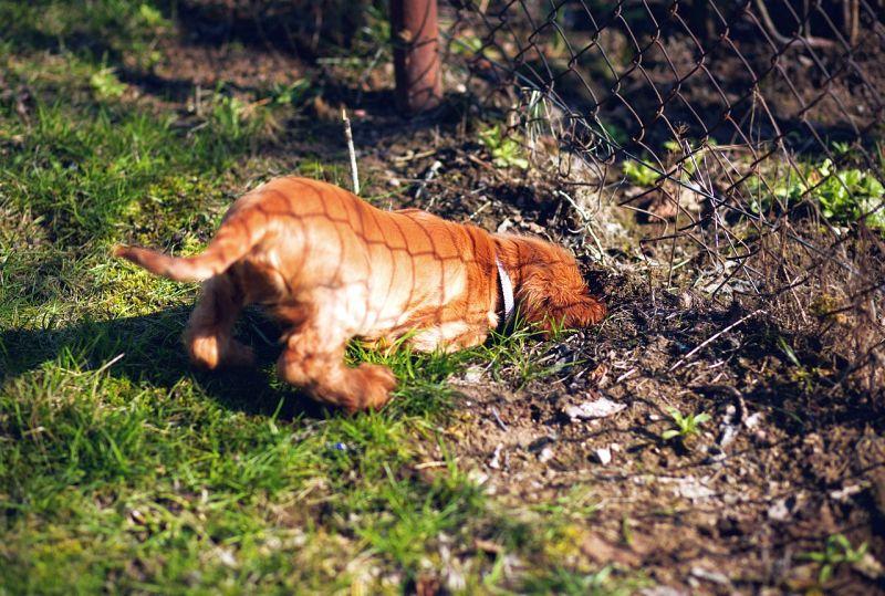 dogs often dig under fences
