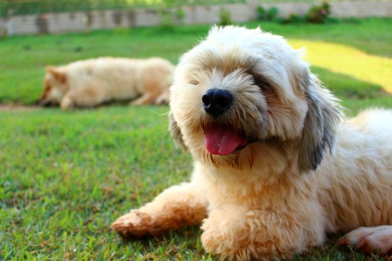 names for Lhasa apsos dogs