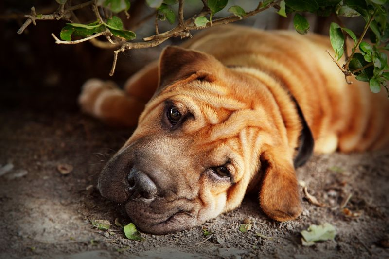 Shar pei dog names