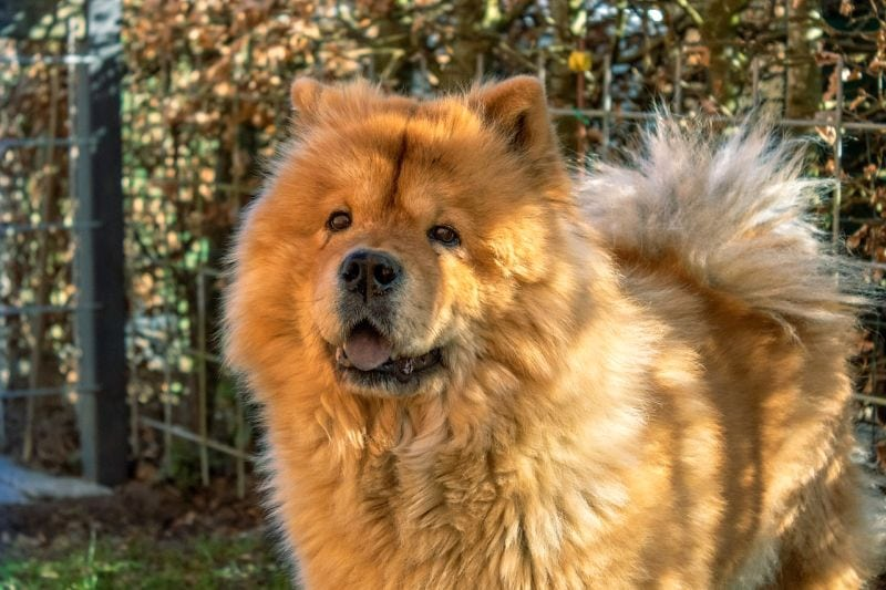 good names for Chow Chows