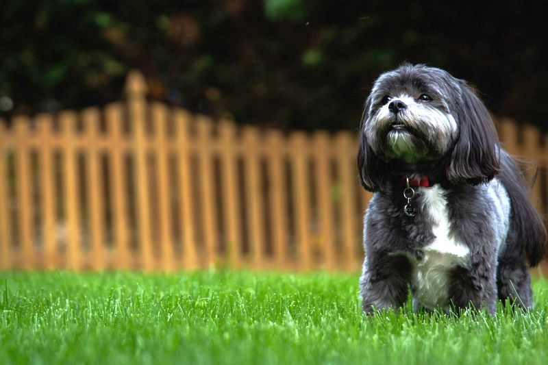 names for Shih Tzus