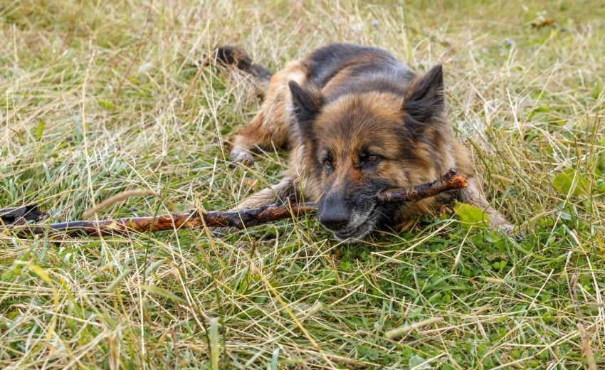 Why dogs eat sticks
