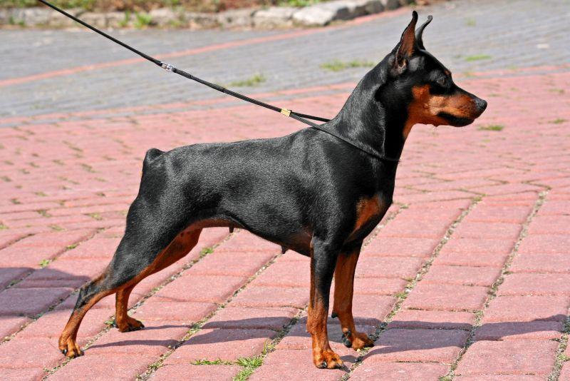 miniature pinscher dog on a leash