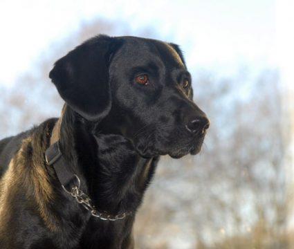 The springador mixed breed dog