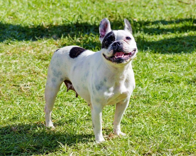 Boston-terrier-dog
