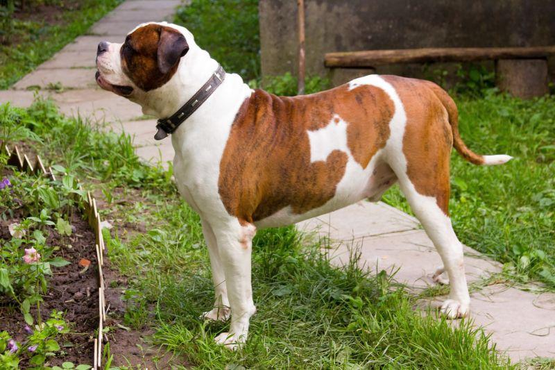 American bulldog is a bully breed